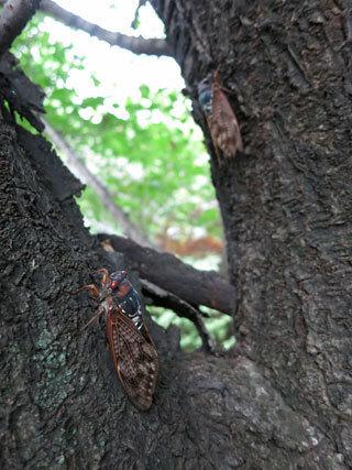 サクラの木にセミ